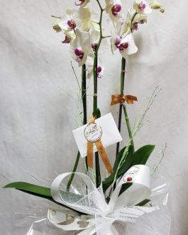 Orquídea con macetero