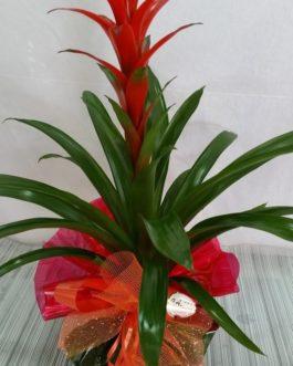 Bromelia Macetero