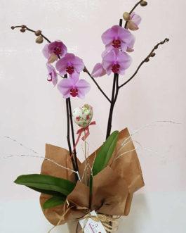 Orquidea phalenopsis con macetero