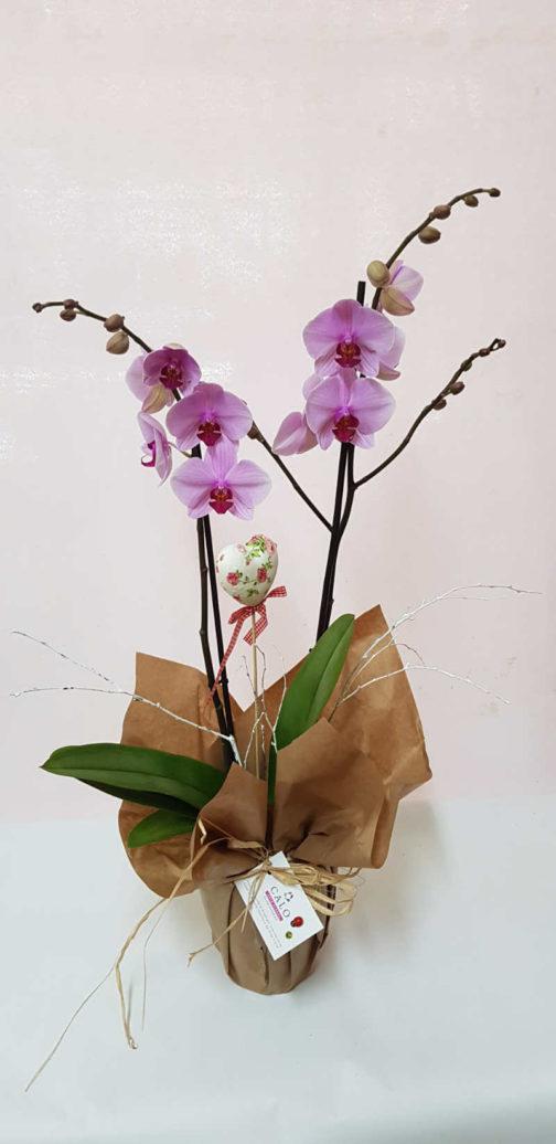orquídeas malvas