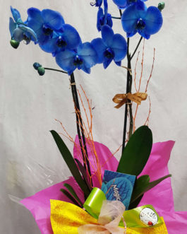 Orquídea Magic Blue
