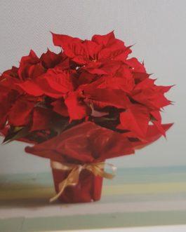 Poinsettias con macetero