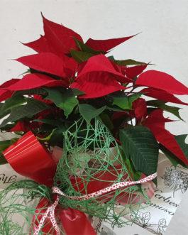 Poinsettia para regalar